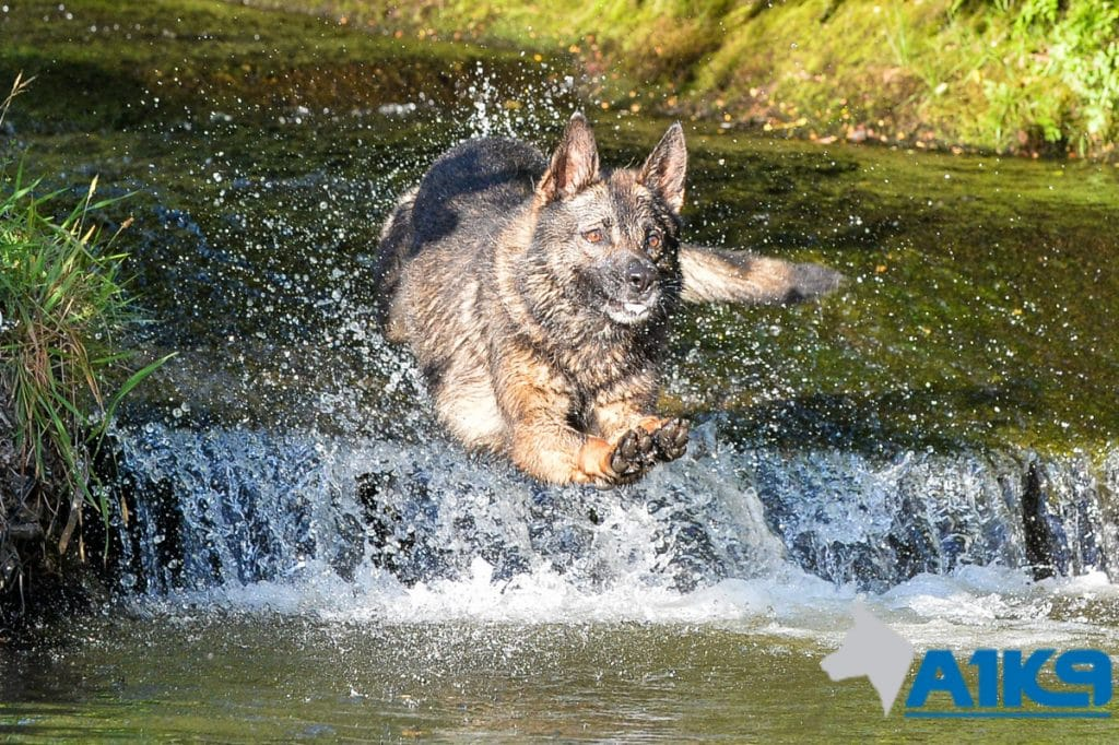 A1K9-family-protection-dog-wagery-river-jump-9068