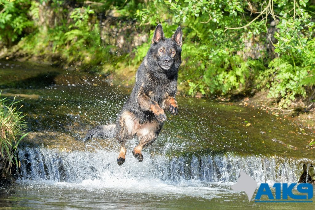 A1K9-family-protection-dog-wagery-water-jump-9015