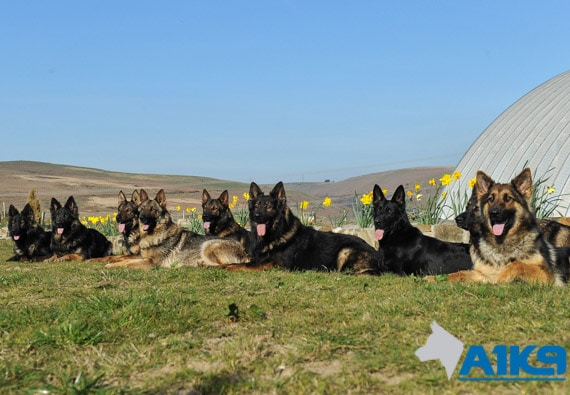 A1K9 personal protection dogs always a big choice img
