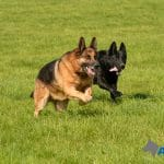 A1K9-protection-dogs-Spike-and-Kali