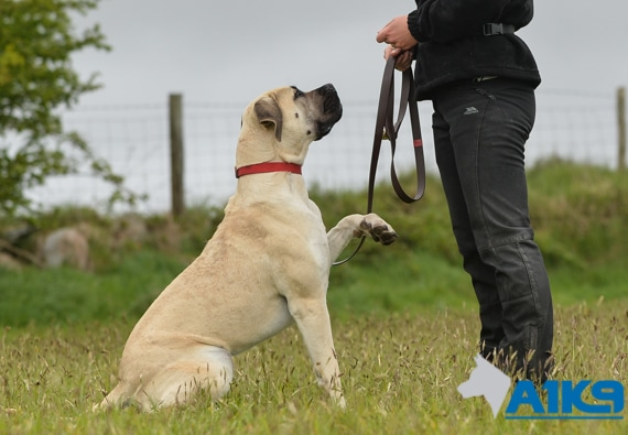A1K9 residential dog obedience training-img