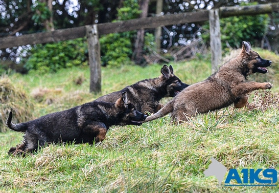 Czech bred German Shepherd pups at A1K9