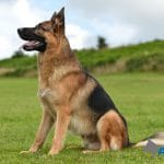 German-Shepherd-Kaises-at-A1K9-Dog-Training-Classes-Copy