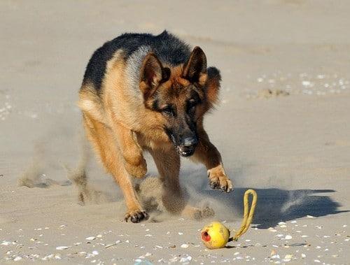 Nigel B Personal Protection Dog