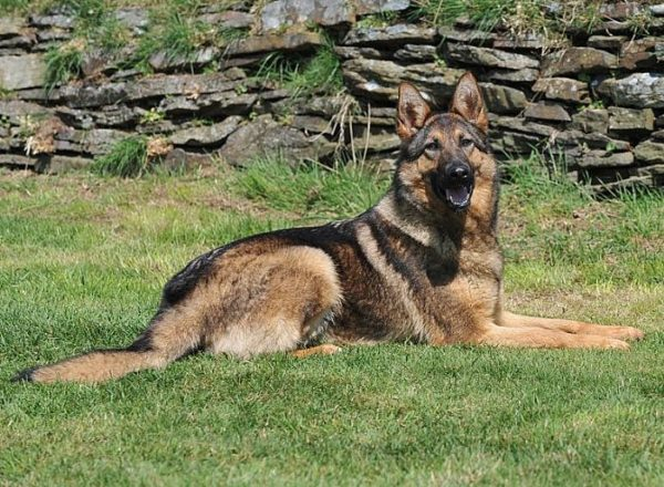 Trained Family Protection Dog (Sold) - Abbey