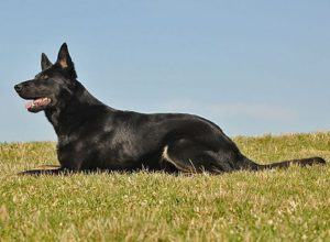 Trained Family Protection Dog (Sold) - Afra