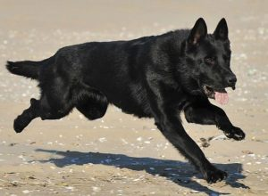Trained Family Protection Dog (Sold) - Aiden