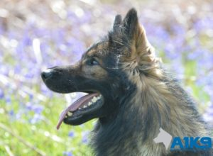 Trained Family Protection Dog (Sold) - Albert