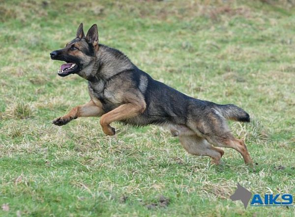Trained Family Protection Dog (Sold) - Amigo