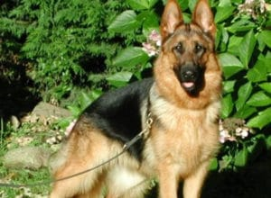 Trained Family Protection Dog (Sold) - Anna