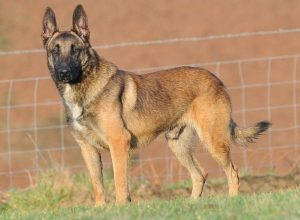 Trained Family Protection Dog (Sold) - Anor