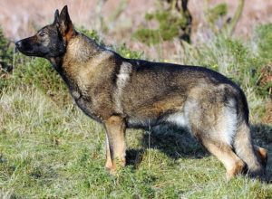Trained Family Protection Dog (Sold) - Anuzka