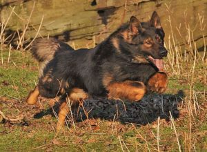 Trained Family Protection Dog (Sold) - Aran