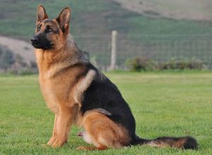 Trained Family Protection Dog (Sold) - Archie