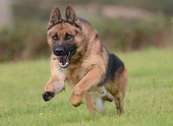 Trained Family Protection Dog (Sold) - Ard