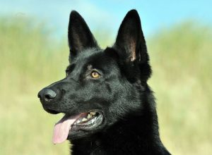 Trained Family Protection Dog (Sold) - Arko