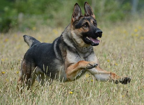 Trained Family Protection Dog (Sold) - Arnie