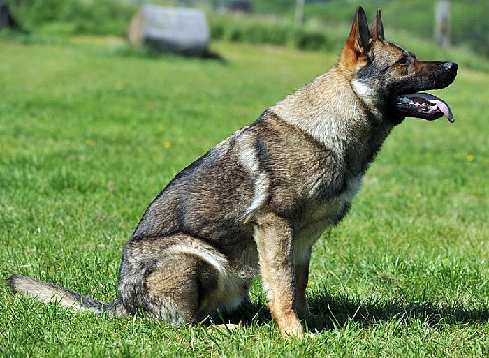 Trained Family Protection Dog (Sold) - Aslan
