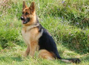 Trained Family Protection Dog (Sold) - Audi