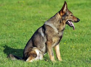 Trained Family Protection Dog (Sold) - Axis