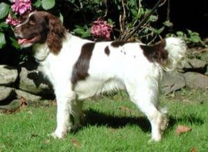 Trained Family Protection Dog (Sold) - Badger
