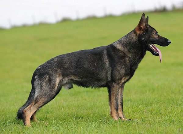 Trained Family Protection Dog (Sold) - Baggio