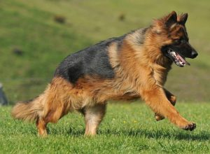 Trained Family Protection Dog (Sold) - Bailey