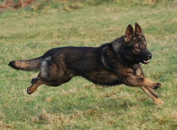 Trained Family Protection Dog (Sold) - Bak