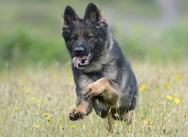Trained Family Protection Dog (Sold) - Barney