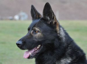 Trained Family Protection Dog (Sold) - Barnie