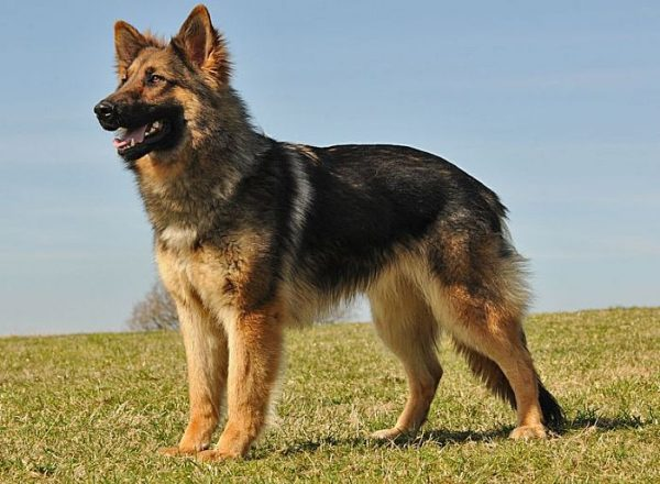 Trained Family Protection Dog (Sold) - Bear
