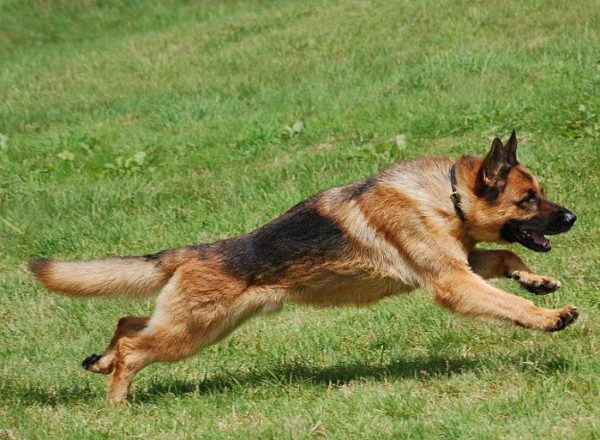 Trained Family Protection Dog (Sold) - Beau