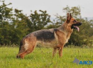 Trained Family Protection Dog (Sold) - Bella
