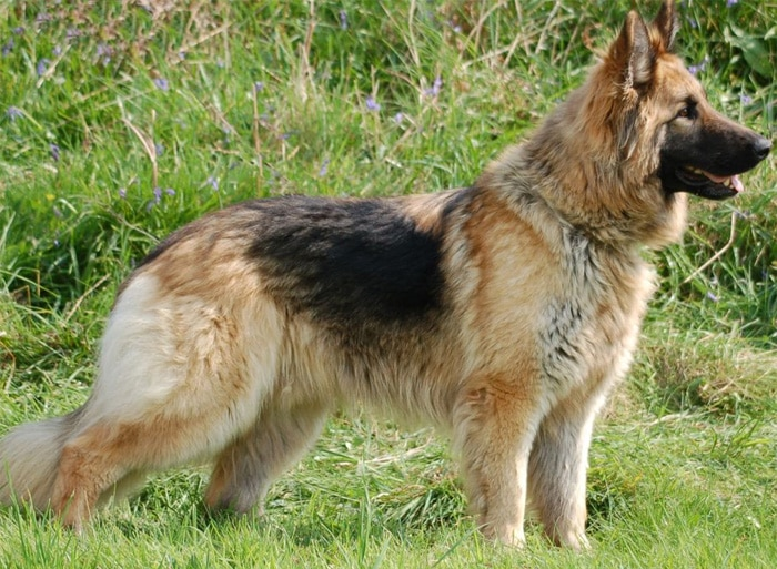 Trained Family Protection Dog (Sold) - Bernie