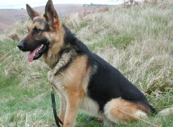 Trained Family Protection Dog (Sold) - Blakey