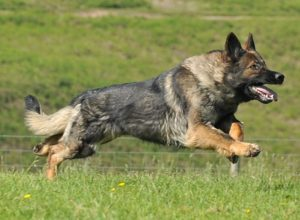 Trained Family Protection Dog (Sold) - Blitz