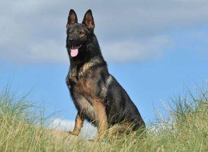 A1K9s Protection Dog Bond