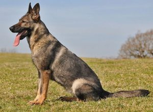 Trained Family Protection Dog (Sold) - Bonnie
