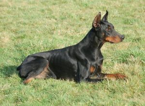 Trained Family Protection Dog (Sold) - Bono