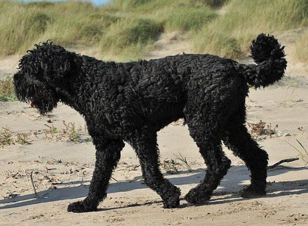 Previously Sold Dogs - Boris
