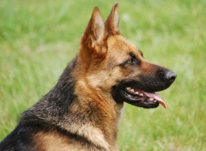 Trained Family Protection Dog (Sold) - Bracken