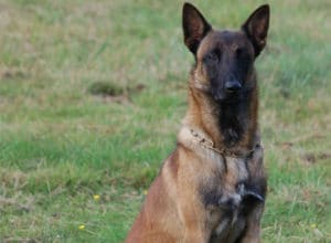 Trained Family Protection Dog (Sold) - Brad