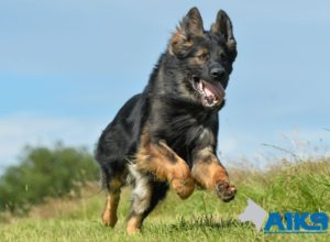 Trained Family Protection Dog (Sold) - Breguet