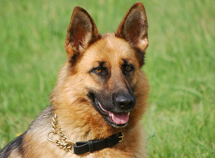 Trained Family Protection Dog (Sold) - Bren