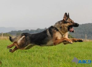 Trained Family Protection Dog (Sold) - Brixi
