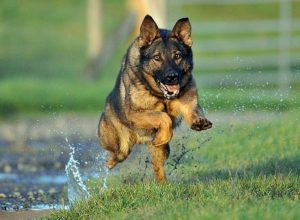 Trained Family Protection Dog (Sold) - Brixo