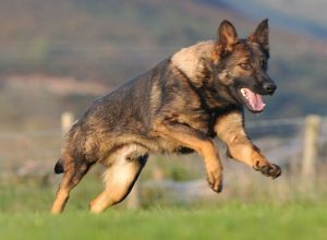 Trained Family Protection Dog (Sold) - Brogan