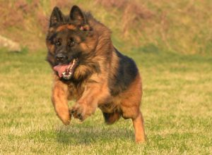 Trained Family Protection Dog (Sold) - Buddy