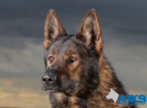 Trained Family Protection Dog (Sold) - Tsar