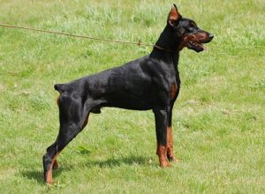 Trained Family Protection Dog (Sold) - Tyrass